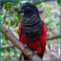 Os papagaio-drácula são perfeito e ainda e podem ser os pássaros mais góticos do mundo